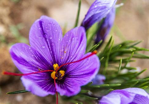 رشد 70 درصدی صادرات زعفران