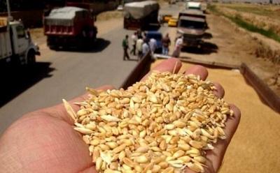 خرید گندم مازاد بر نیاز کشاورزان از ۲ میلیون تن گذشت