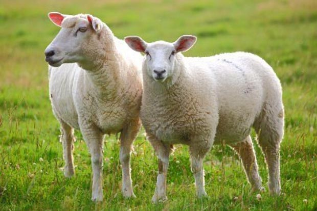 پرورش گوسفند و تولید علوفه در تعاونیهای تولیدی کشور کلید خورد