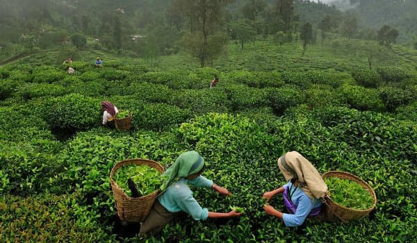 India's tea is again a hot brew in Iran
